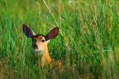 在草的白被盯梢的鹿小鹿 免版税库存照片