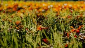 在草的秋叶 库存照片