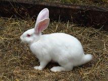 在草的空白兔子 库存图片