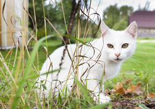 在草的空白猫 免版税图库摄影
