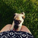 在草的第一步这个小的逗人喜爱的哈巴狗的 免版税库存图片
