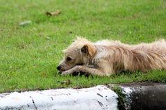 在草的米黄街道狗 免版税图库摄影