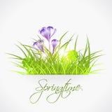 在草的紫罗兰色番红花鸡蛋 免版税库存照片
