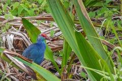 在草的紫色Swamphen鸟波尔菲里奥波尔菲里奥在Thale Noi水鸟预留湖,泰国 图库摄影