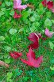 在草的红色加拿大枫叶 库存照片