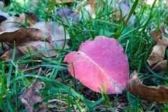 在草的红色秋天叶子 免版税图库摄影