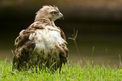在草的红被盯梢的鹰 免版税库存图片