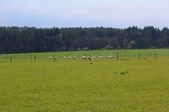 在草的绵羊与森林和蓝天 捷克横向 免版税库存照片