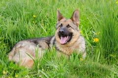 在草的美丽的德国牧羊犬 年龄1年 免版税图库摄影