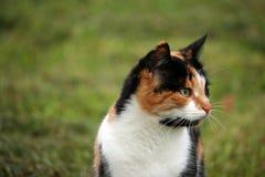 在草的美丽的杂色猫 库存图片