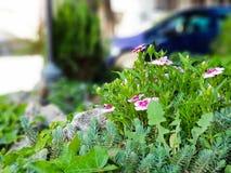 在草的美丽的桃红色和白色野花 库存图片