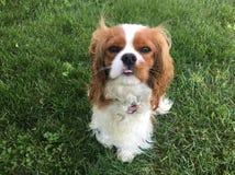 在草的美丽的狗 免版税库存照片