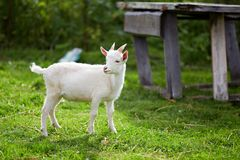 在草的美丽的白色小的山羊 库存图片