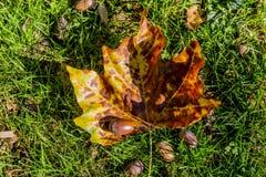 在草的美丽的秋天叶子与橡子 免版税库存照片
