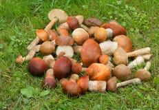 在草的美丽的蘑菇在森林里。 库存图片