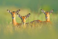 在草的美丽的飞羚与晚上太阳,在植被的暗藏的画象 在狂放的自然的动物 在非洲wildl的日落 库存照片