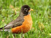 在草的美国知更鸟 免版税库存图片