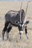 在草的羚羊属 库存照片