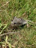 在草的老鼠 库存照片