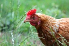 在草的自由放养的母鸡 免版税库存照片
