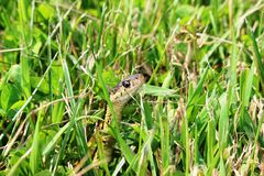 在草的花纹蛇 免版税库存图片
