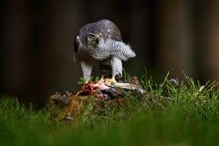 在草的苍鹰杀害共同的野鸡在绿色森林,鸷里在自然栖所,行动哺养的场面在黑暗的森林里 图库摄影