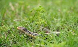 在草的苗条玻璃蜥蜴 库存照片