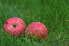 在草的苹果计算机收获 库存图片