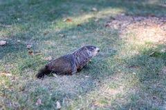 在草的草原土拨鼠在公园 免版税库存图片