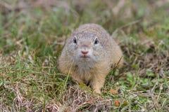 在草的草原土拨鼠 库存照片