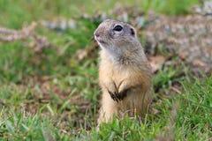 在草的草原土拨鼠 库存图片