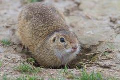 在草的草原土拨鼠 免版税库存图片