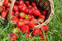在草的草莓 免版税库存图片