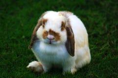 在草的荷兰Lop兔子 库存照片