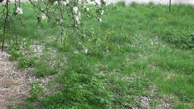 在草的落的春天苹果树开花瓣 股票录像