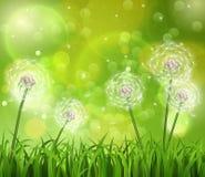 在草的蒲公英在绿色背景 库存图片