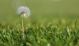 在草的蒲公英 免版税图库摄影