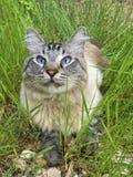 在草的蓝眼睛的猫 免版税库存图片