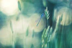 在草的蓝色蜻蜓 背景美好的bokeh向量 免版税库存图片