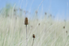 在草的蓟与蓝天 免版税库存照片