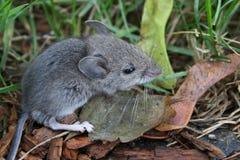 在草的蓬松老鼠 免版税库存图片