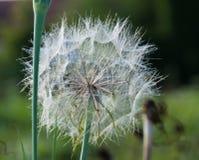 在草的蓬松蒲公英 免版税库存照片