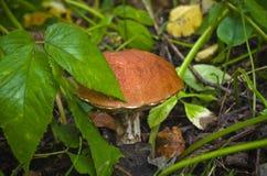 在草的蘑菇 图库摄影