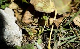 在草的蚂蚱在拿着叶子的岩石 免版税库存照片