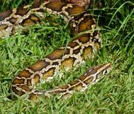 在草的蛇 免版税库存照片
