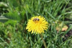 在草的蜂 图库摄影