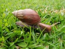 在草的蜗牛在亚庇沙巴马来西亚 免版税库存图片