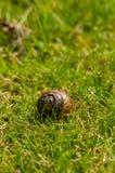 在草的蜗牛壳 库存图片