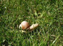 在草的蜗牛 库存照片