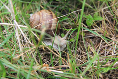 在草的蜗牛 库存图片